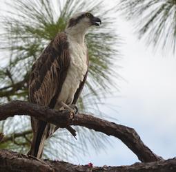 Osprey saw a flying fish