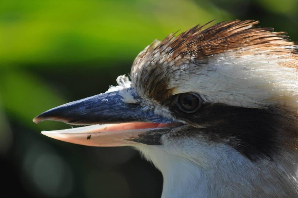 Featured image: Kookaburra 3