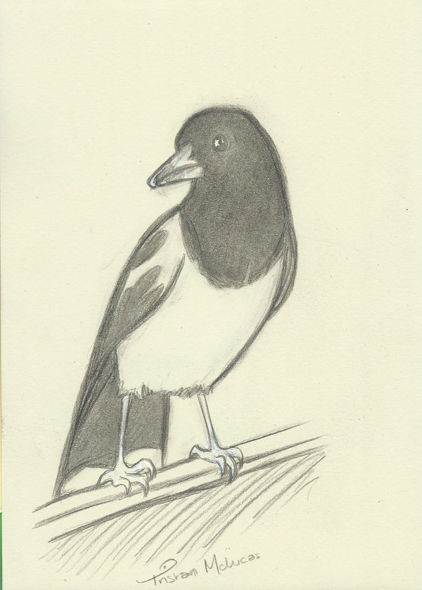 15 minute doodle of a Pied Butcherbird
