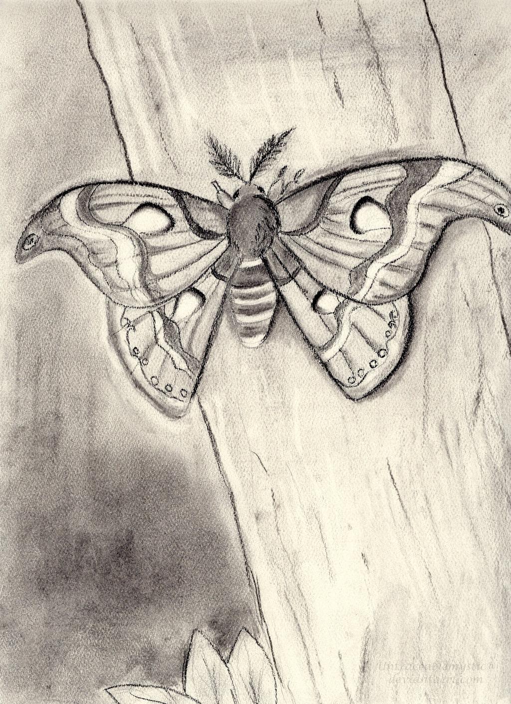 Charcoal Atlas Moth