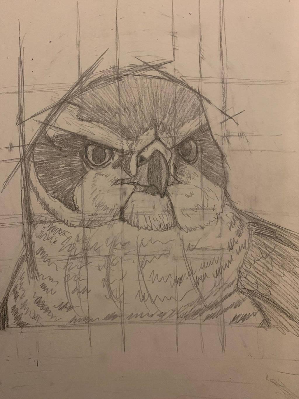 Goshawk Sketch