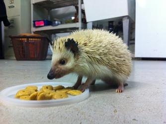 Simon the hedgehog