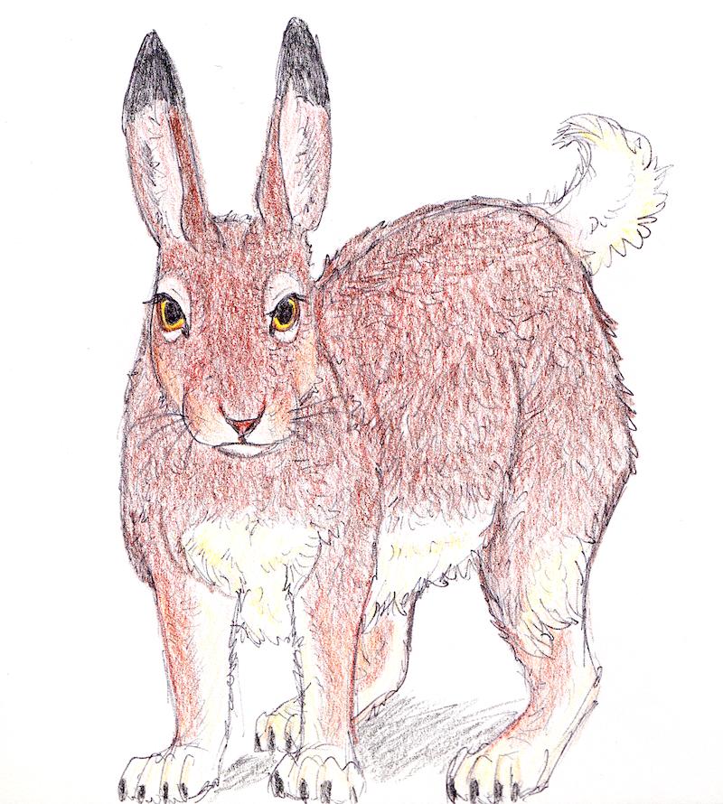 White-tailed jackrabbit