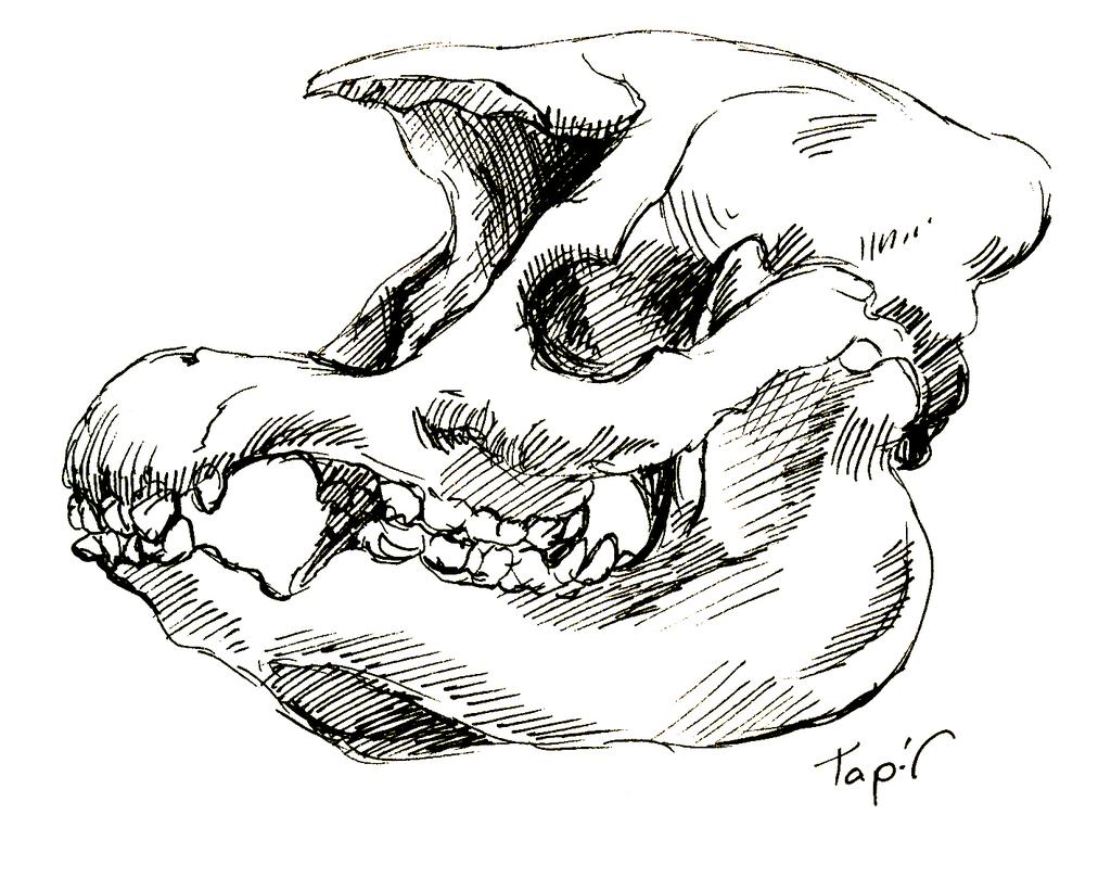 Most recent image: Tapir Skull