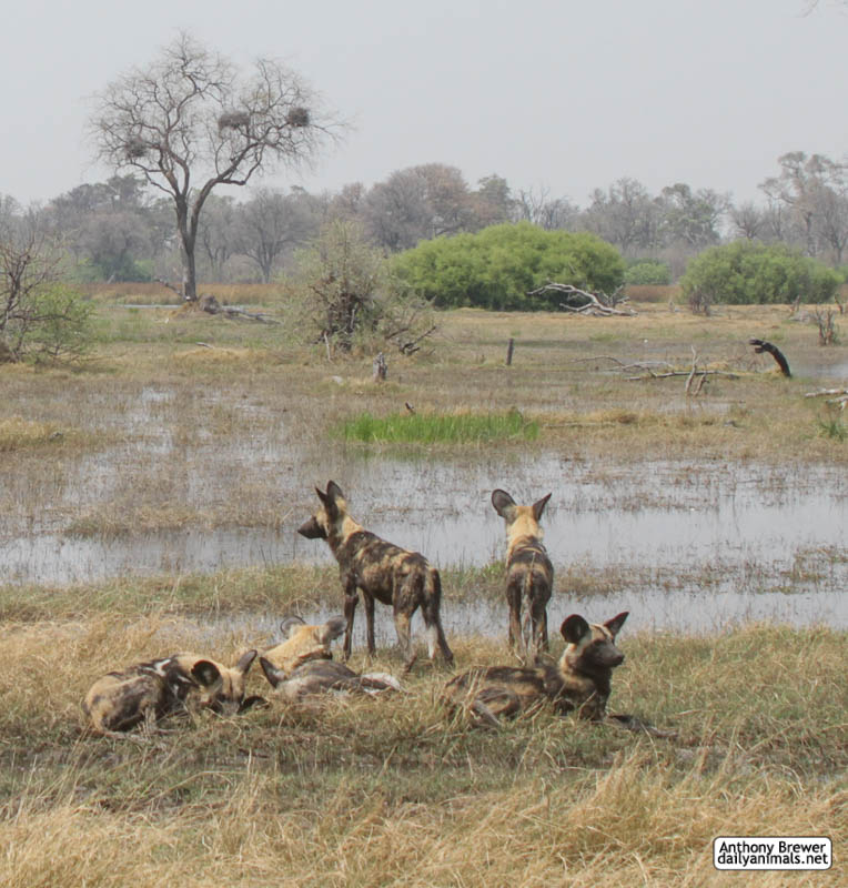 Where the wild dogs are