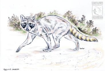 Cozumel Raccoon - Inktober