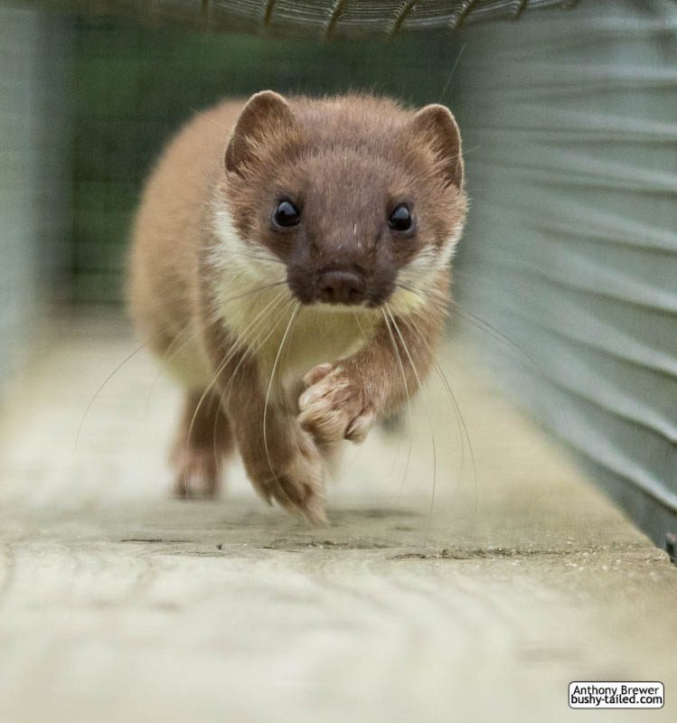 Stoat run