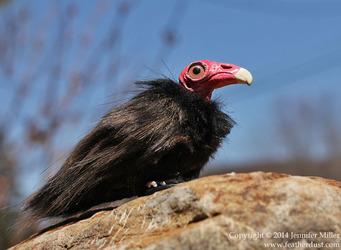 Quinn, the Turkey Vulture