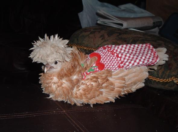 If Putting Clothes on Poultry is Wrong...
