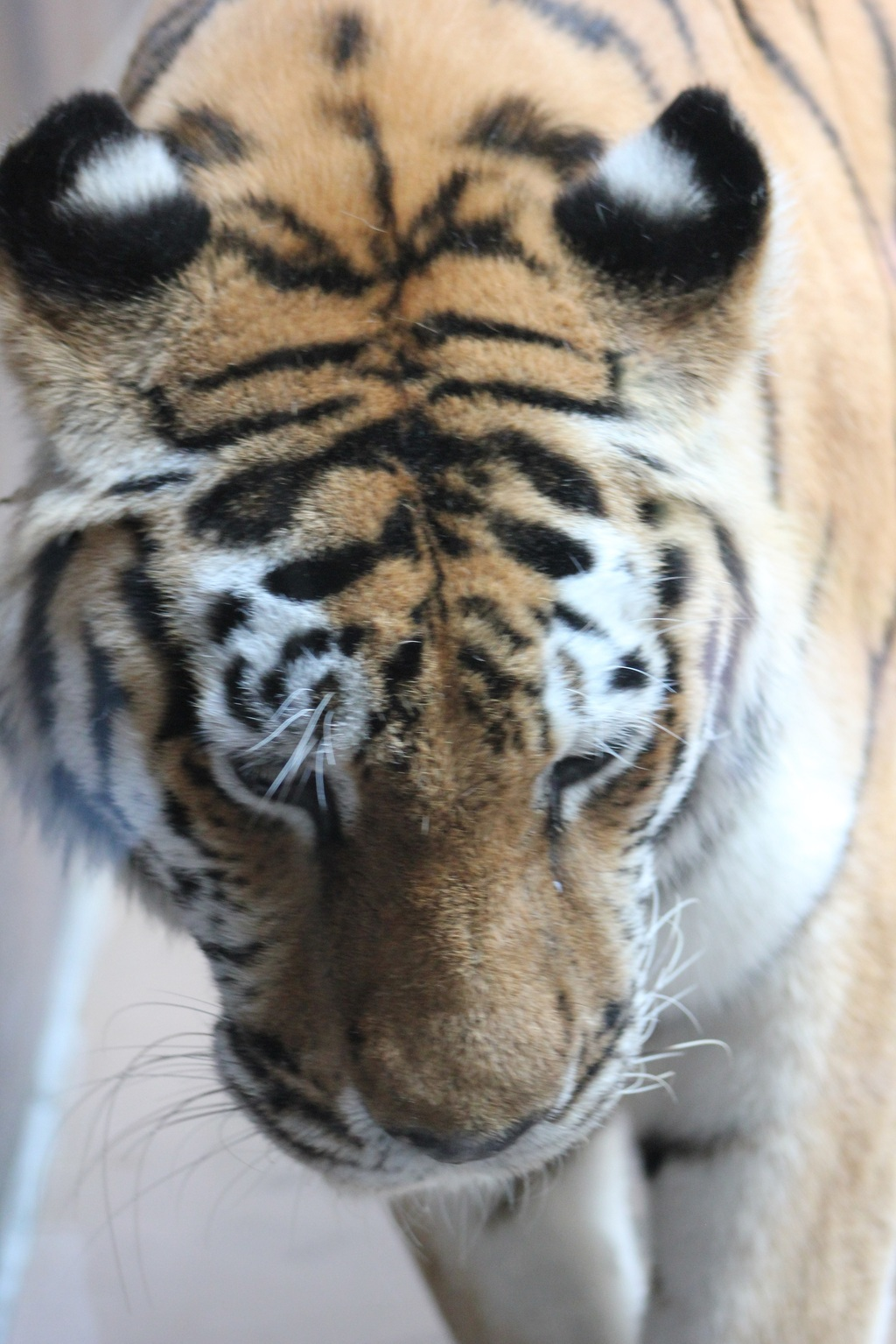 Tiger's Ears
