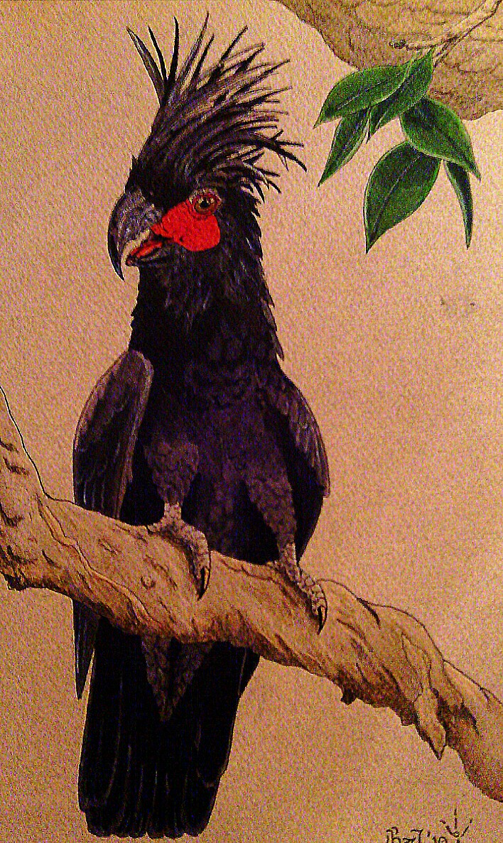 Most recent image: Palm Cockatoo