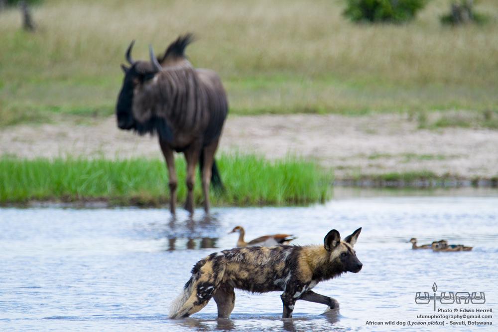 Savuti Wild Dogs #2