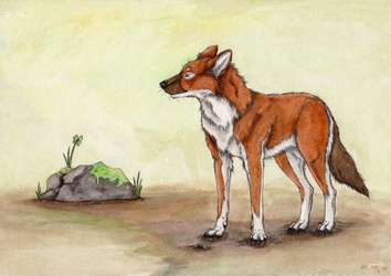 The dhole.