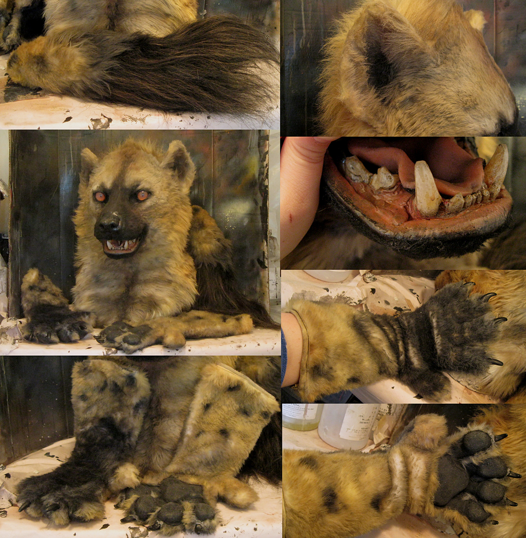 spotted hyena details