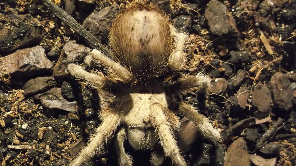 A. Chalcodes, my most friendly tarantula