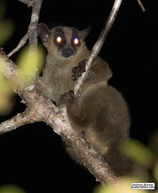Fork-marked lemur