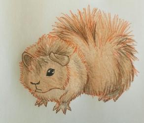 Punky guinea pig