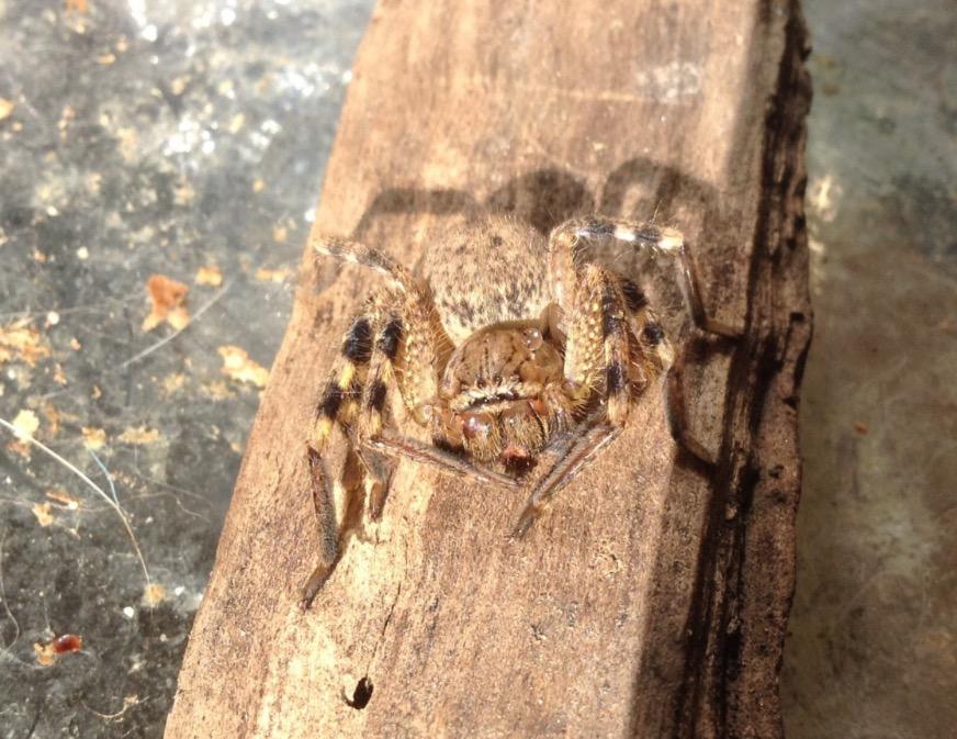 Badge huntsman spider  (Neosparassus)