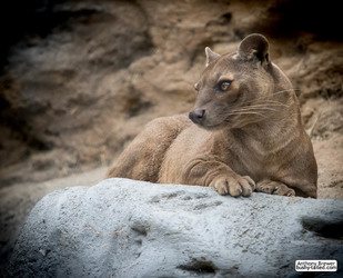 Fossa looking pretty