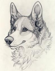 Pencil Sketch - Corgi
