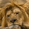 Avatar for Liontracks