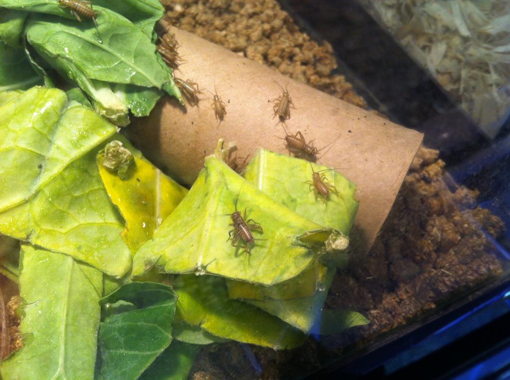 Baby crickets