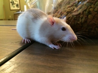 Jingles the rat