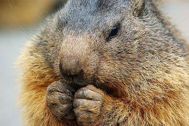 gnawing marmot
