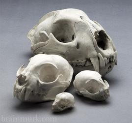 [Skull Project] North American Cats