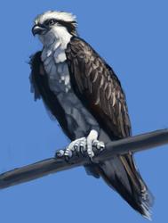 osprey paint study