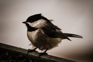 Feeder Portrait - Chickadee