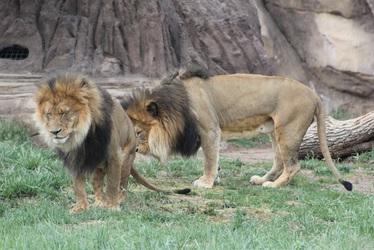 Denver Lion Brothers