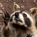 The racconiest raccoon ever.