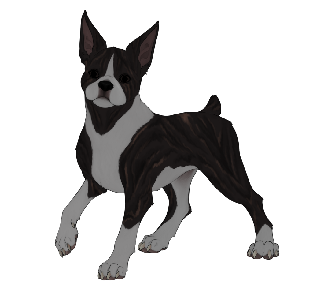 Dogust #4: Boston Terrier