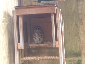 Solo the barred owl