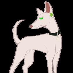 Pharaoh hound Spencer
