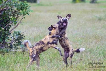 Savuti Wild Dogs #4