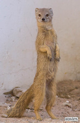 Standing mongoose