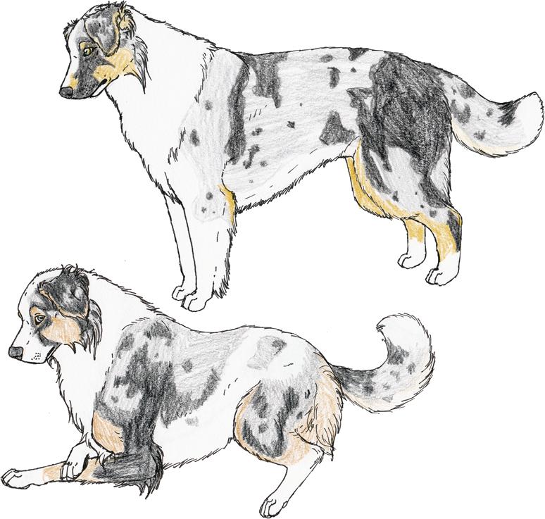 Australian Shepherds 1