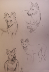 Animal Study 3 (African Wild Dog)