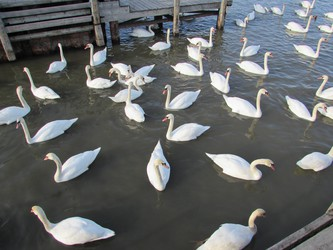 many swans spread out