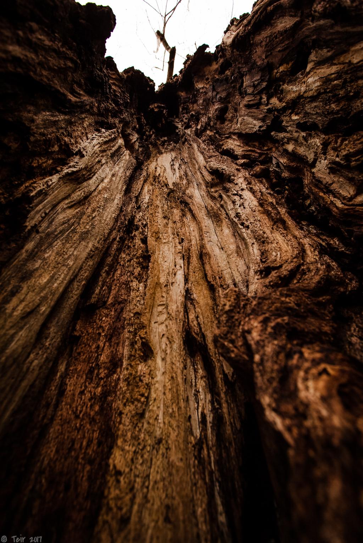 tree guts