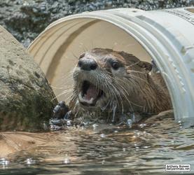 A bucketful of otter