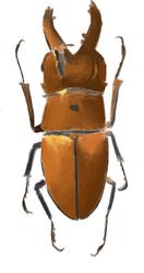 Prosopocoilus Occipitalis Anoa