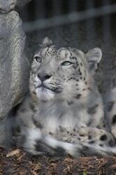 Denver Snow Leopard