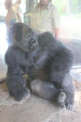 Gorilla Advice