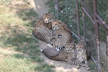 Multiple Cheetahs
