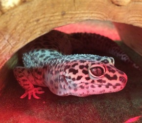 Geico the leopard gecko