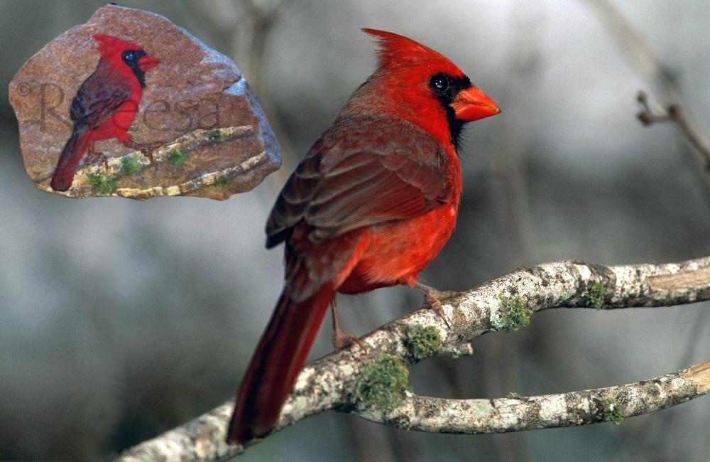Cardinal Burd
