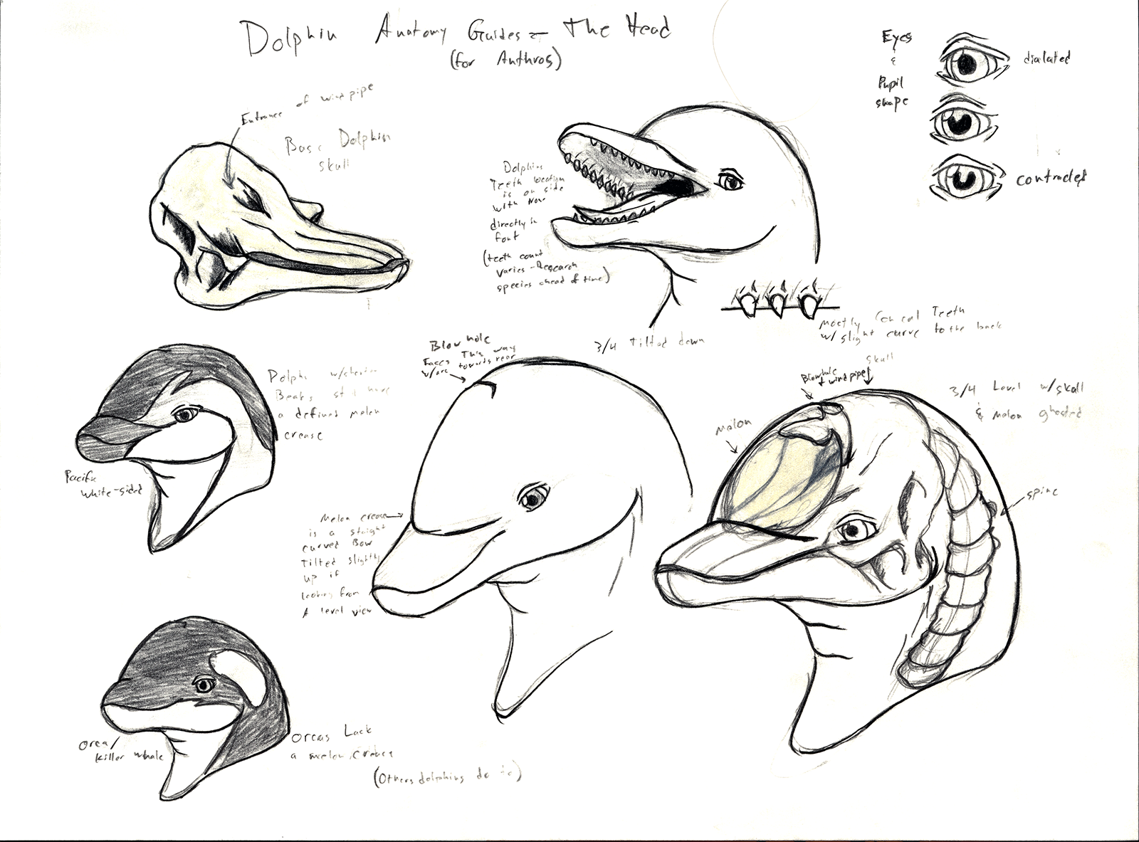 Anatomy Guides - Anthro Dolphin Head — Weasyl